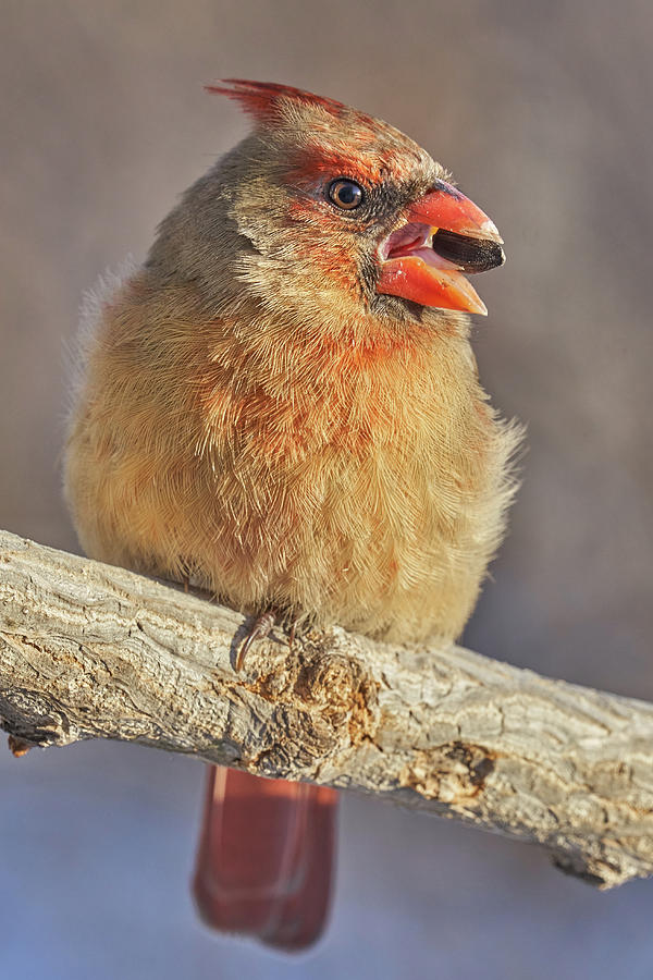 Female Cardinal with sunflower seed by Jim Hughes