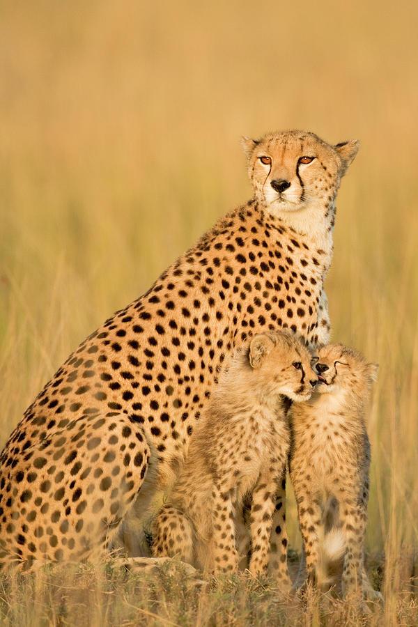 Female Cheetah Acynonix Jubatus With Photograph by Winfried Wisniewski
