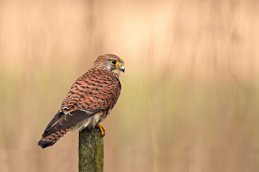 Common Photograph - Female Common Kestrel by Rob Olivier