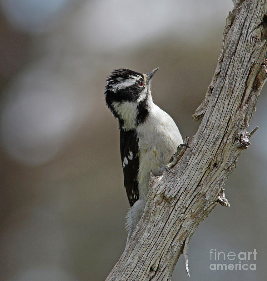 Woodpecker Photograph - Female Downy Woodpecker by Gary Wing
