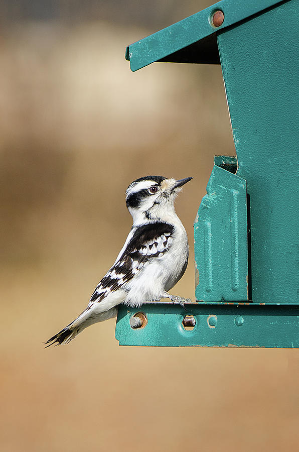 Female Downy Woodpecker by Susan McMenamin