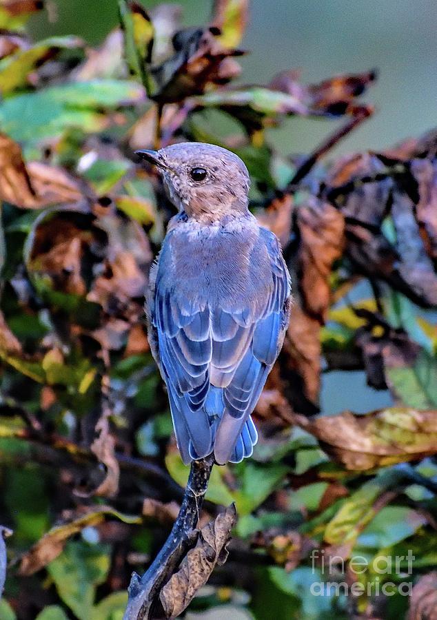 Female Eastern Bluebird Always A Lady Photograph