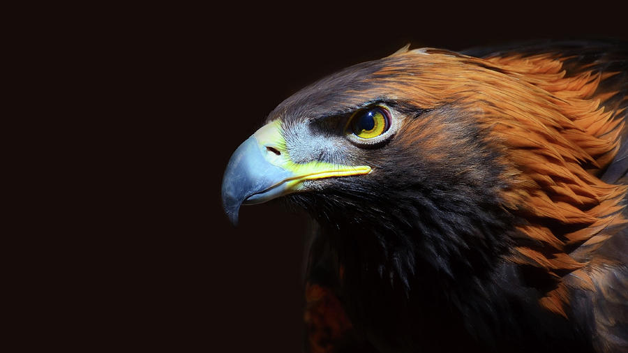 Female Golden Eagle Photograph by A L Christensen