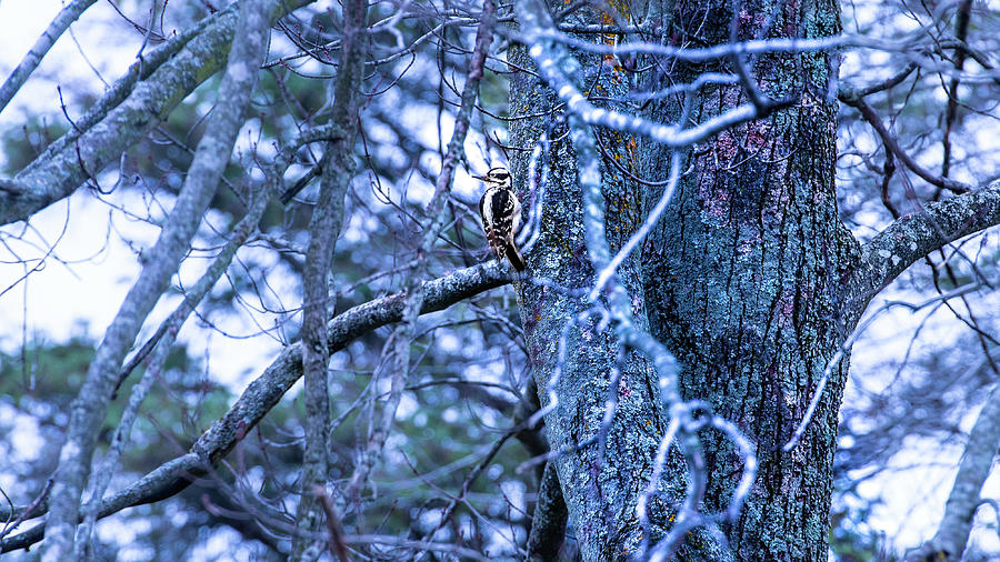 Female Hairy Woodpecker by onyonet  photo studios