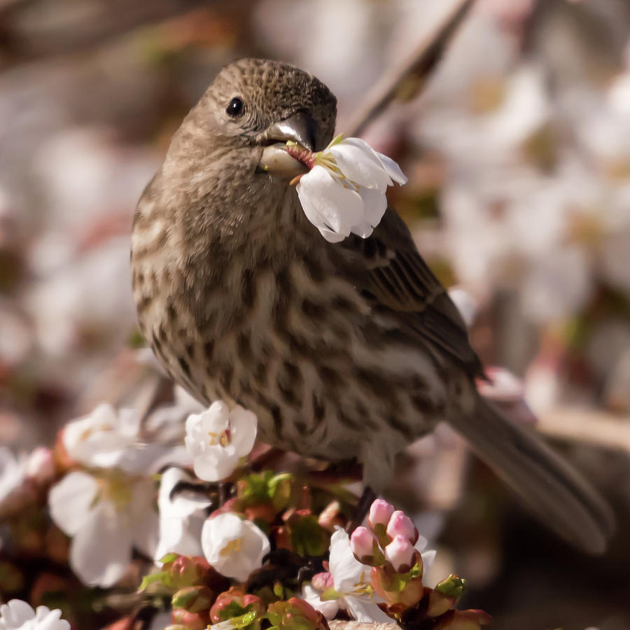 Female House Finch With White Flower Square by Terry DeLuco