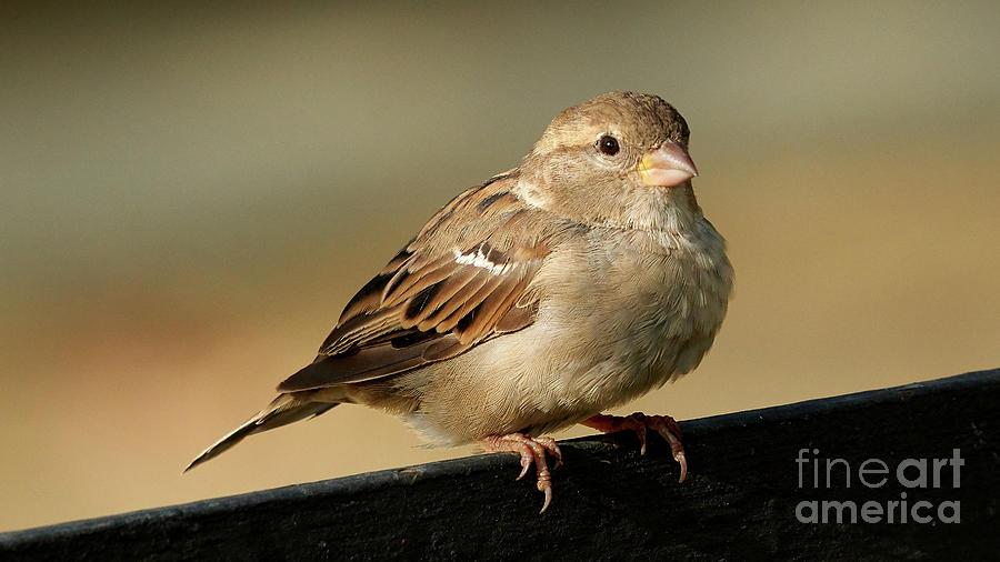 Female House Sparrow by Pablo Avanzini