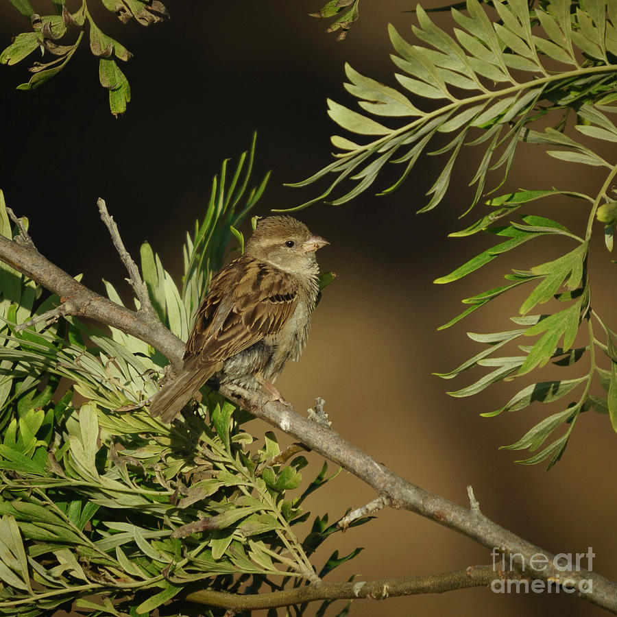 Female House Sparrow Perched Back Side by Pablo Avanzini