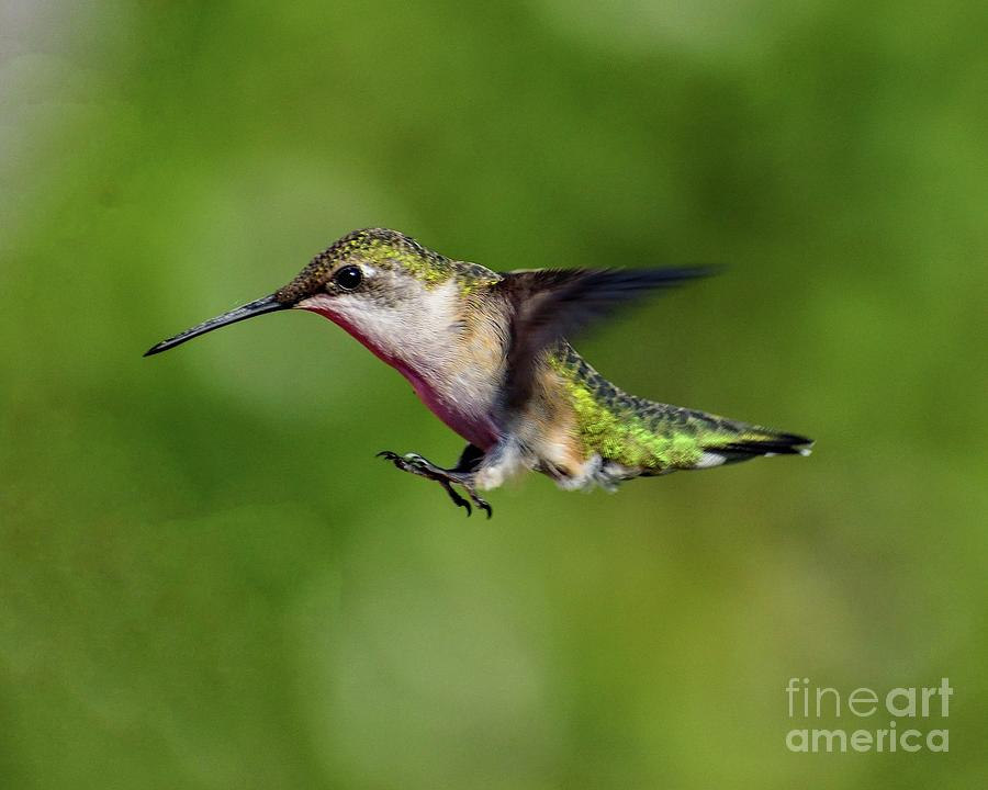 Female Juvenile Ruby-throated Hummingbird Ready For Landing by Cindy Treger