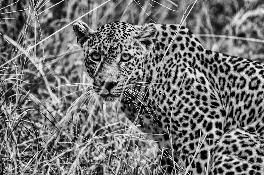 Female Leopard in Black and White by Mark Hunter