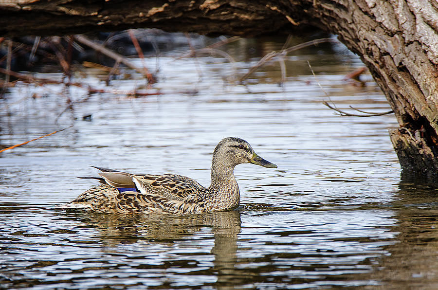 Female Mallard 3 by Susan McMenamin