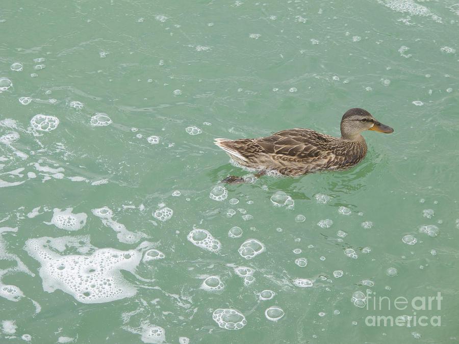 Female Mallard Duck Photograph