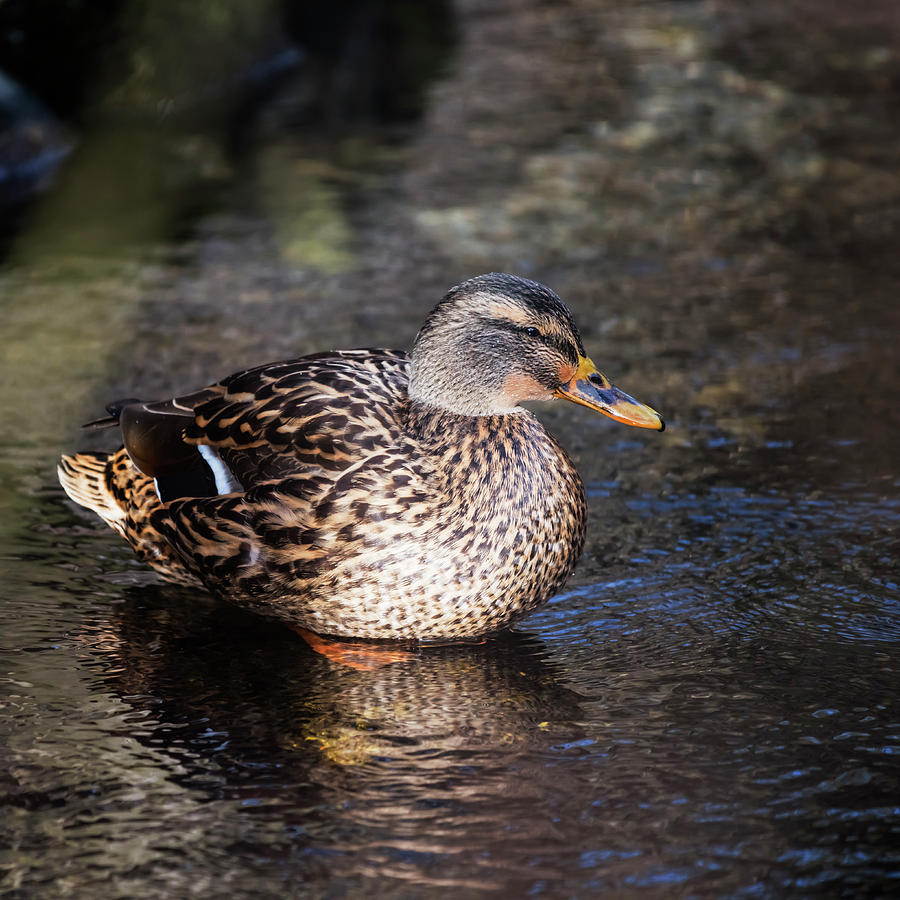 Female Mallard Duck by Vishwanath Bhat