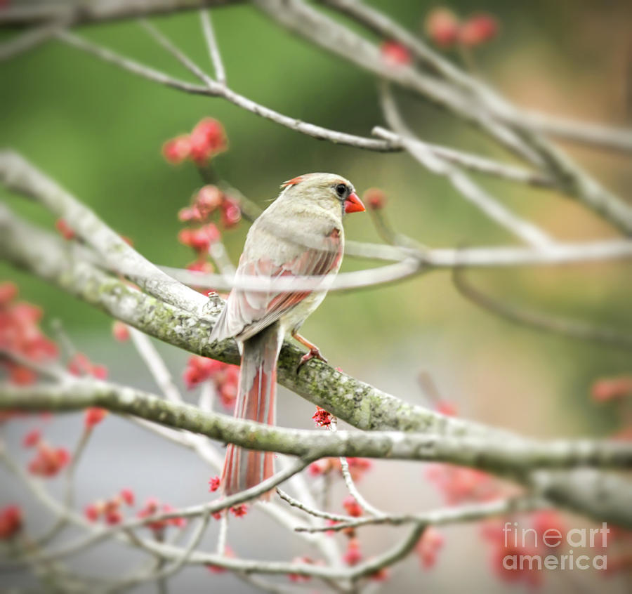 Female Northern Cardinal in the Maple tree by Kerri Farley