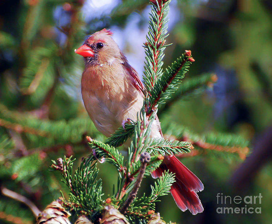 Female Northern Cardinal - Posing in the Pines by Kerri Farley