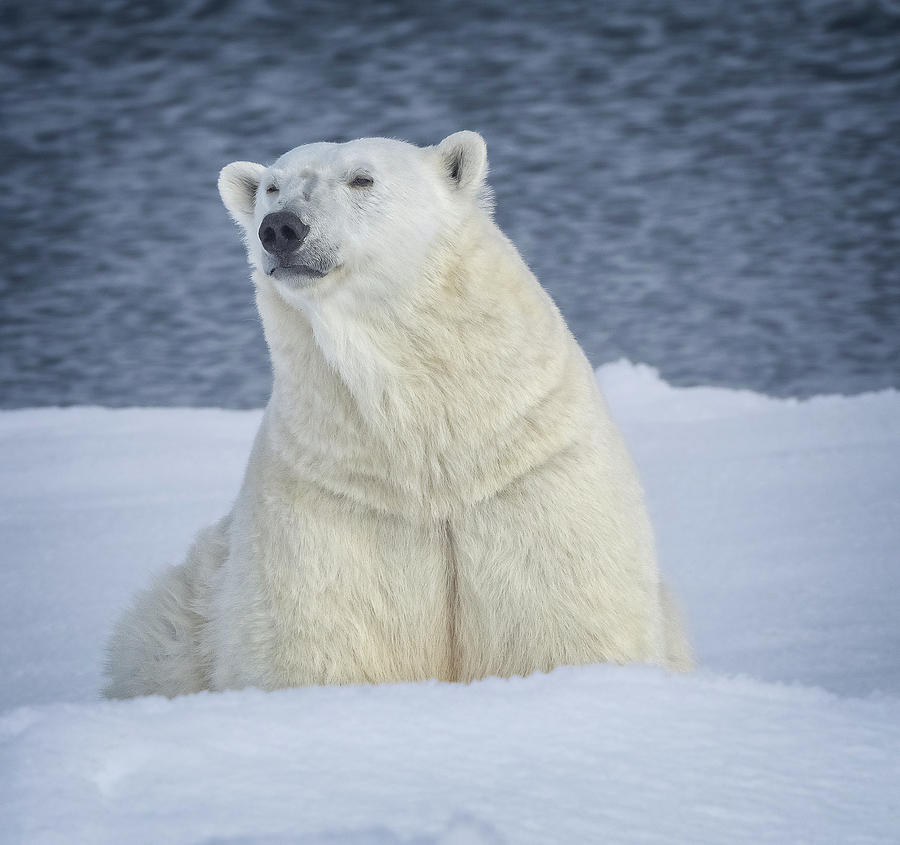 Female Polar Bear waits her chance to feed by Steven Upton