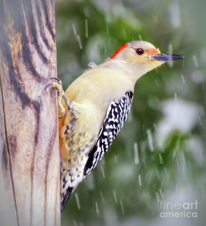 Female Red-bellied Woodpecker In The Snow by Kerri Farley