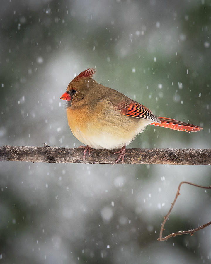 Female Red Cardinal Snowstorm by Mike Koenig