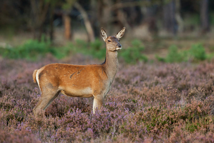 Female Red Deer Photograph by Rob Christiaans
