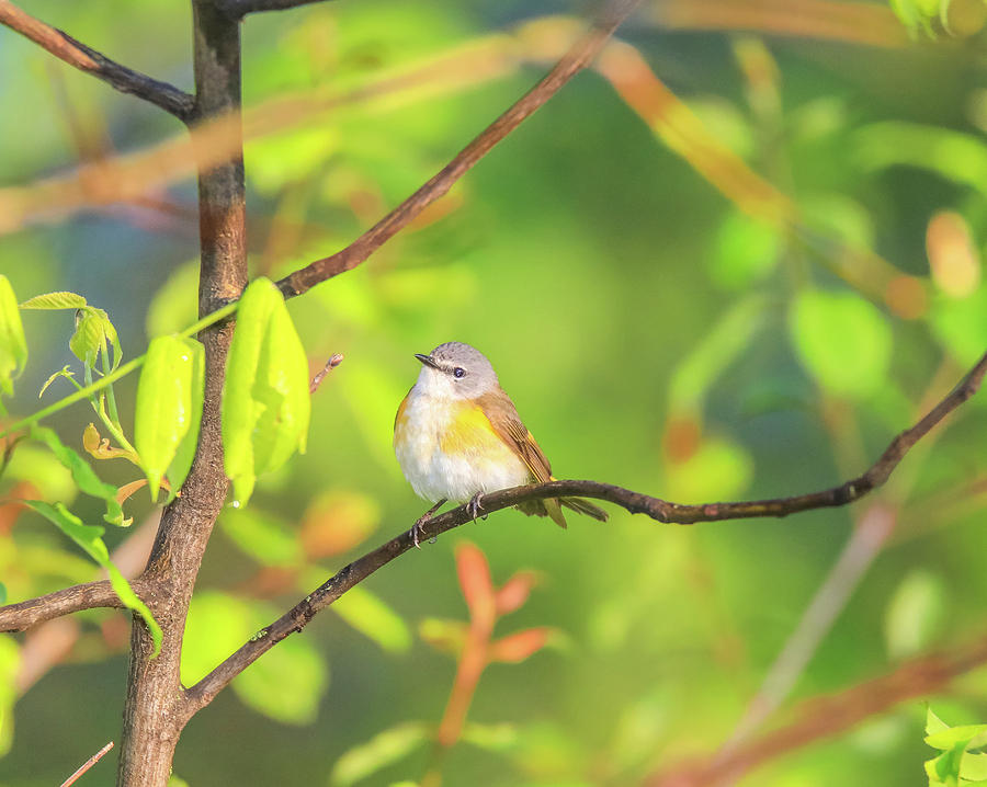 Female Redstart In Spring by Dan Sproul