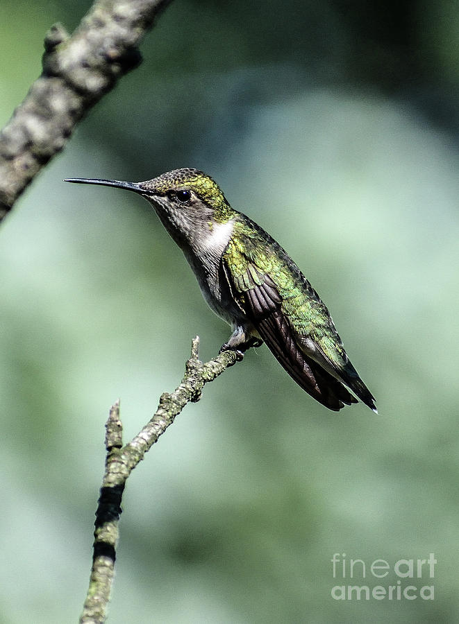 Female Ruby-throated Hummingbird Taking A Break by Cindy Treger