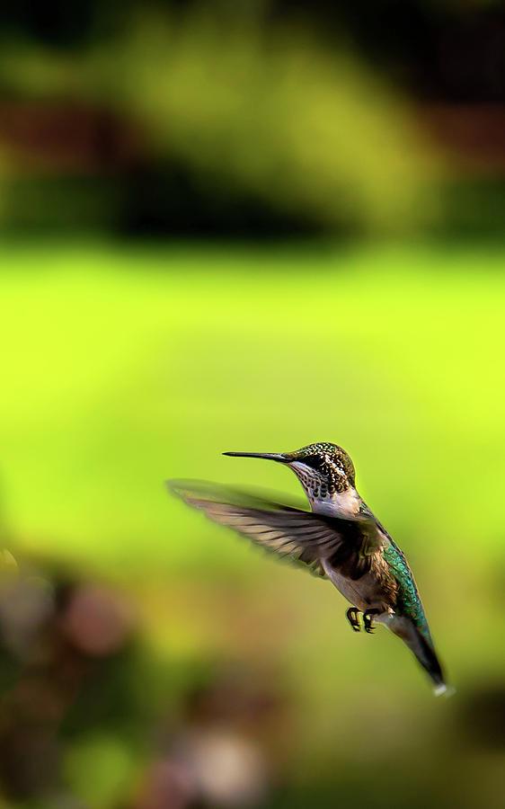 Female Ruby Wings Forward Photograph