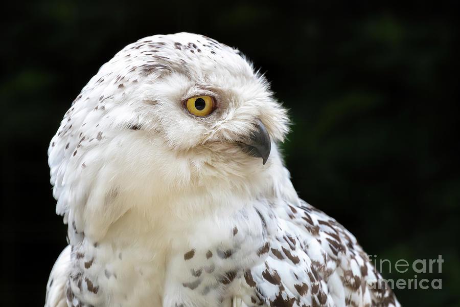 Female snowy owl close up by Jane Rix