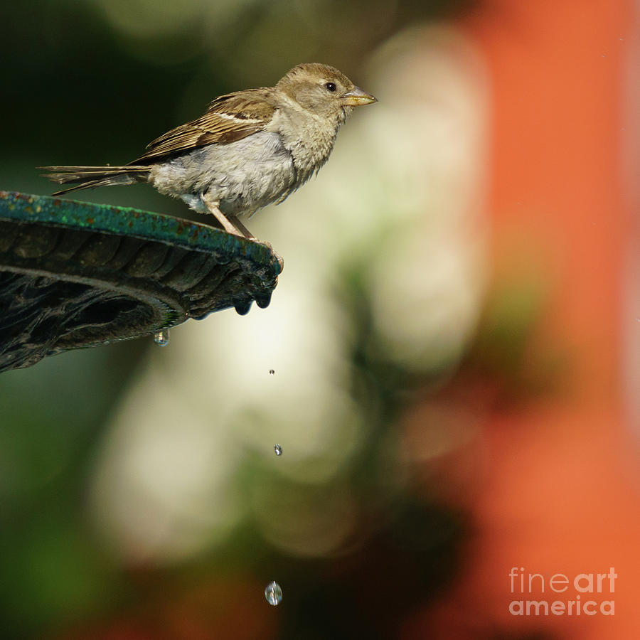 Female Spanish Sparrow Perched on Iron Fountain by Pablo Avanzini
