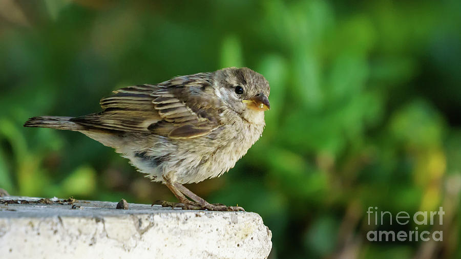 Female Spanish Sparrow Perched on Marble Column by Pablo Avanzini
