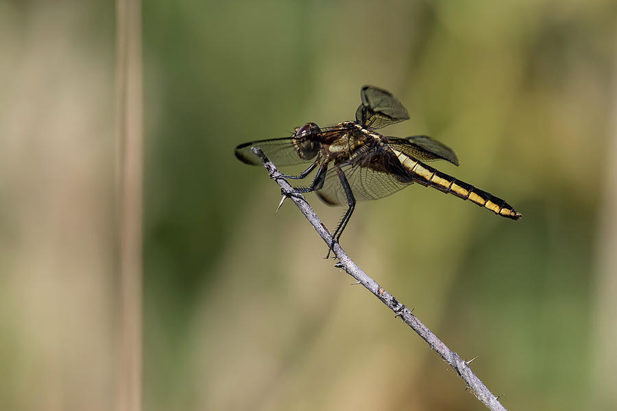 Female Widow Skimmer by Belinda Greb
