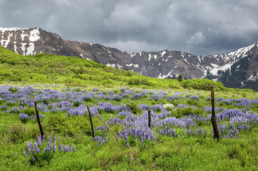 Fenced Lupine by Denise Bush