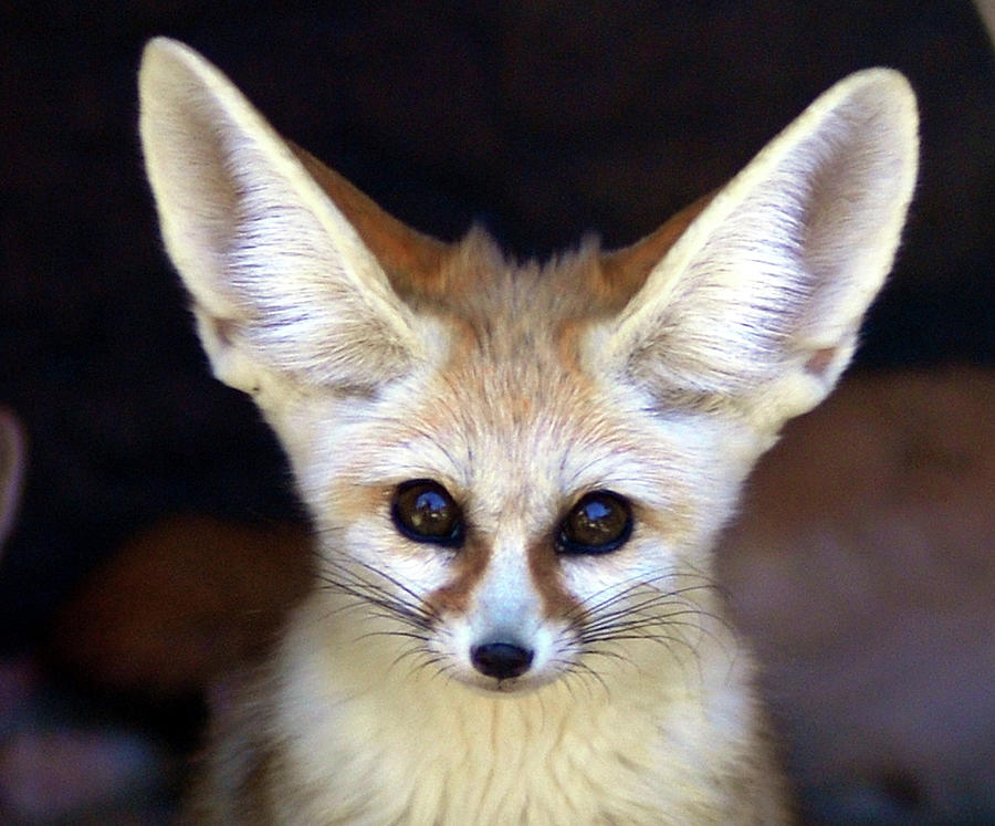 Fennec Fox Photograph by Floridapfe From S.korea Kim In Cherl