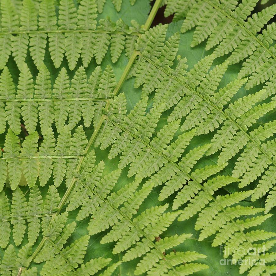 Fern Fronds over Green Leaf by Carol Groenen