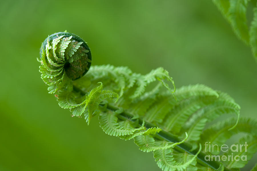 Stems Photograph - Fern In The Spring Forest by Andrew Buckin