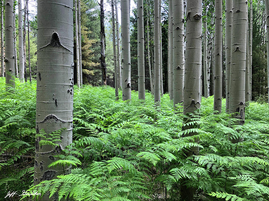 Ferns in an Aspen Grove by Jeff Goulden