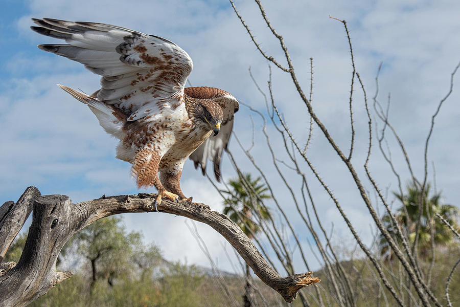 Ferruginous Hawk by Dan McManus