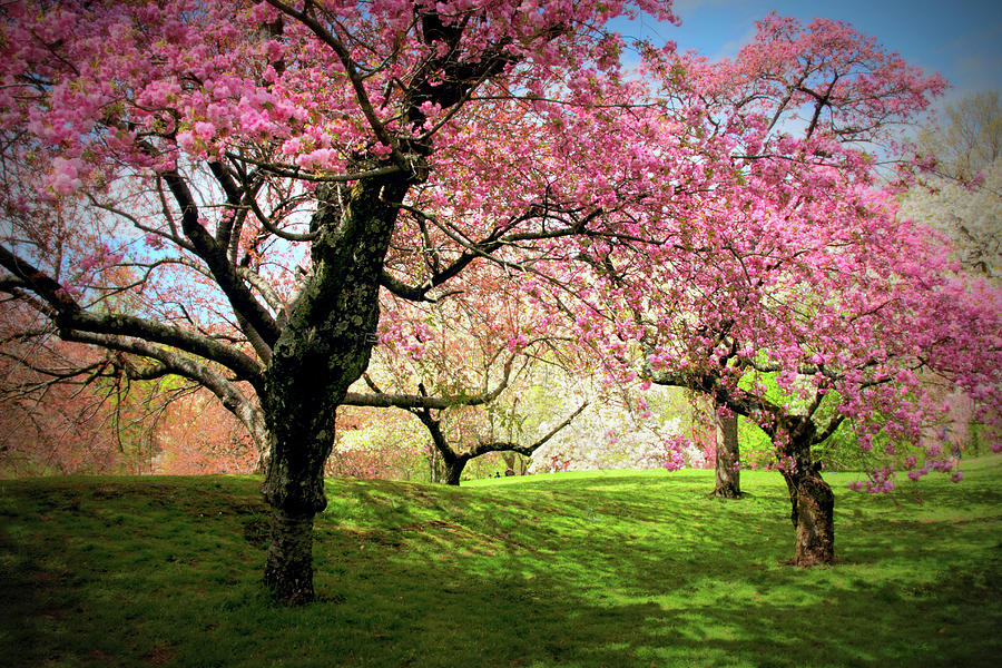 Cherry Trees Photograph - Cherry Orchard Afternoon by Jessica Jenney