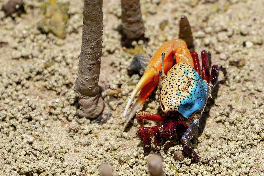 Fiddler Crab Uca Tetragonon G9
