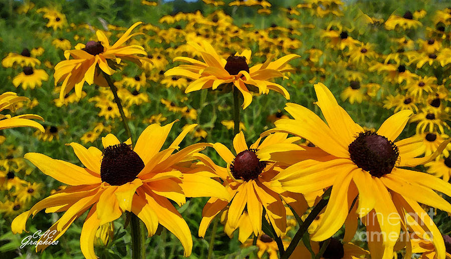 Field of Black-Eyed Susan  by CAC Graphics