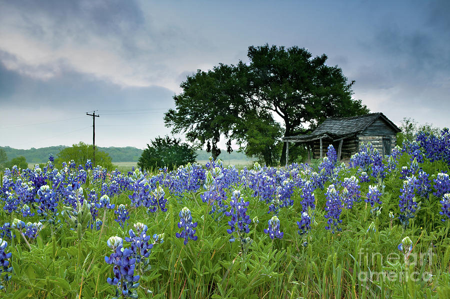 Field of Blue by Patti Schulze