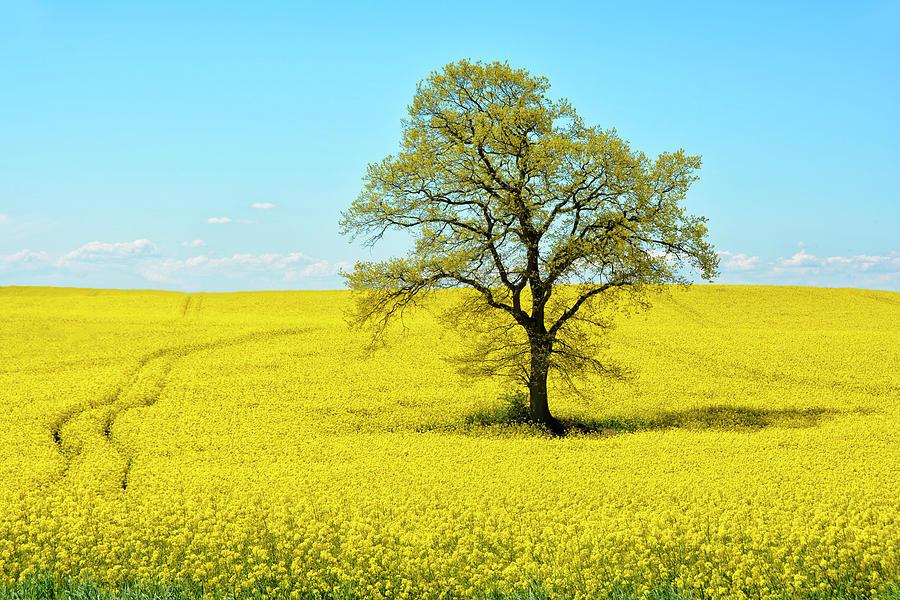 Field Of Bright Yellow Rape Photograph