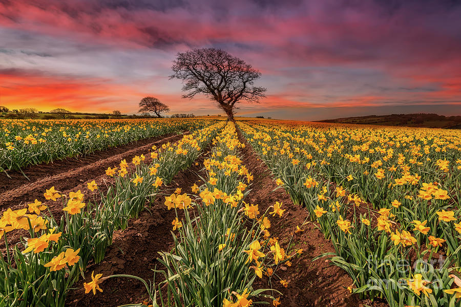 Field of Daffodils Sunset by Adrian Evans