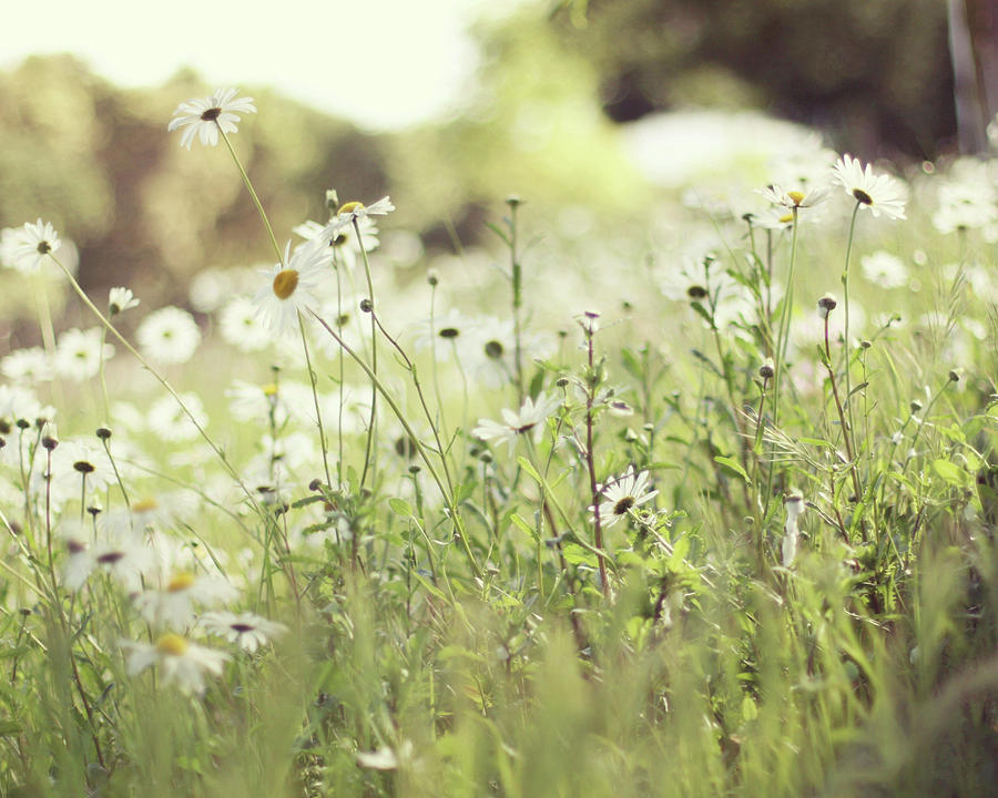 Field Of Daisies Photograph by Liz Rusby