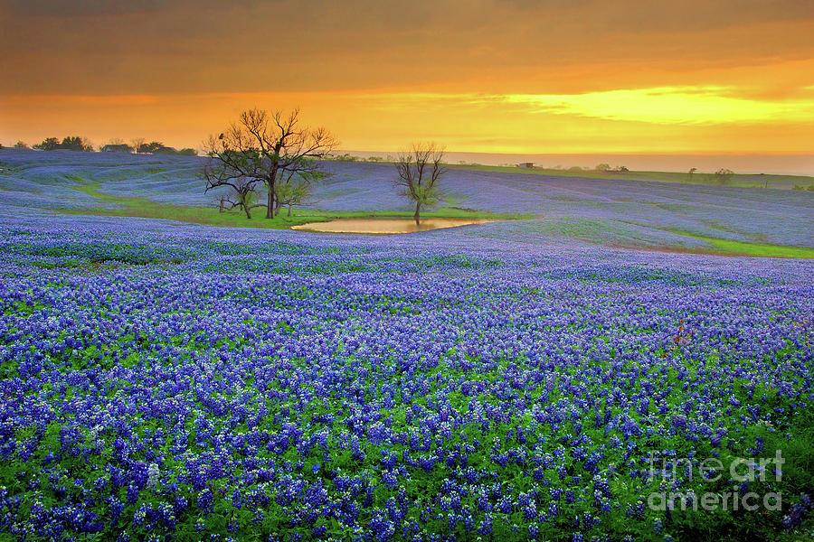 Texas Bluebonnets Photograph - Field of Dreams Texas Sunset - Texas Bluebonnet wildflowers landscape flowers  by Jon Holiday