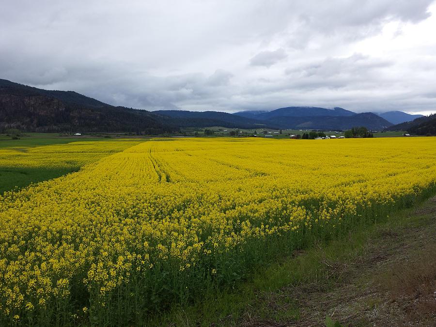 Field of Gold - Colville WA by Jennifer Kohr