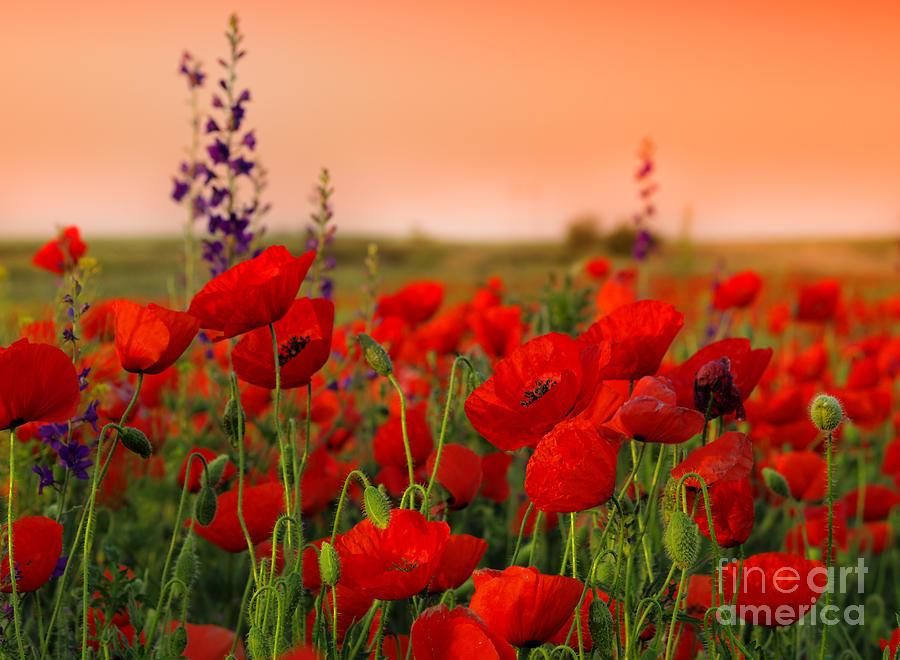 Delicate Photograph - Field Of Poppies On A Sunset by Zeljko Radojko