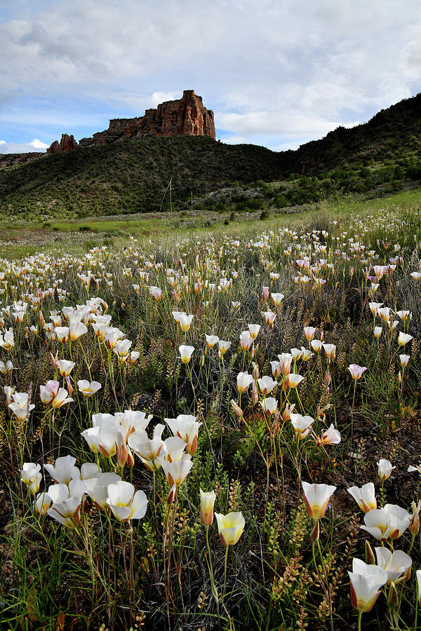 Field of Sego Lilies in Colorado NM by Ray Mathis