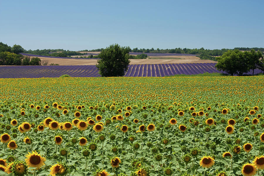 Field Of Sunflowers Photograph by Kepler13
