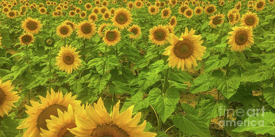 Field of Sunflowers by Randy Steele