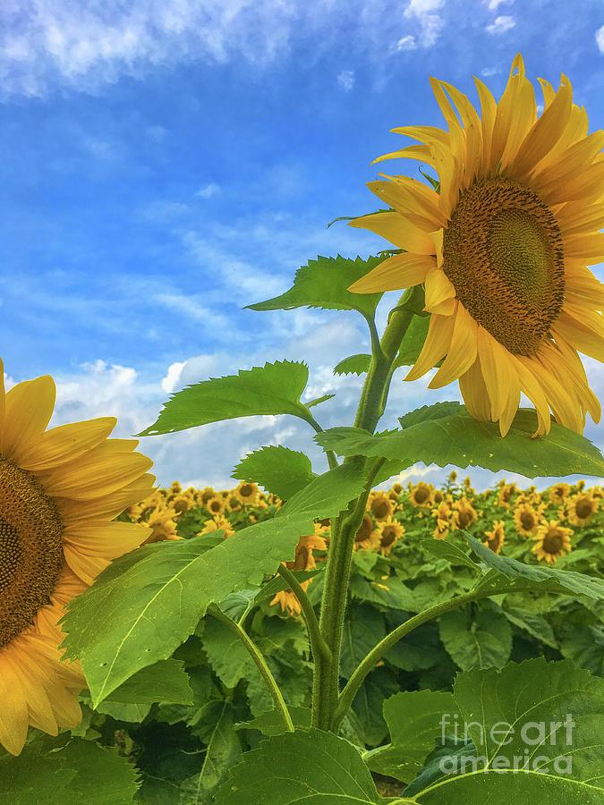 Field of Sunflowers Two by Randy Steele