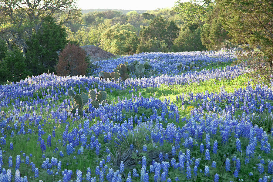 Field Of Texas Bluebonnets Skimmed By Photograph by Dhughes9